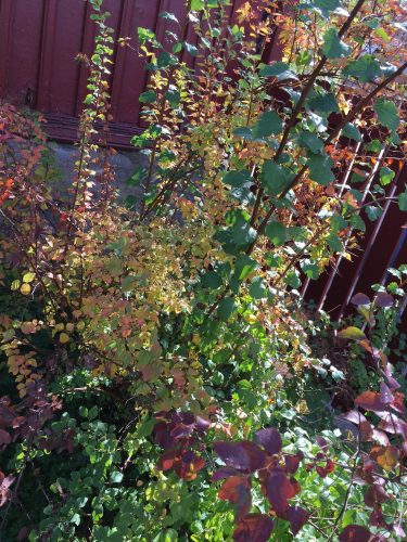 Höstskiftningar i trädgården