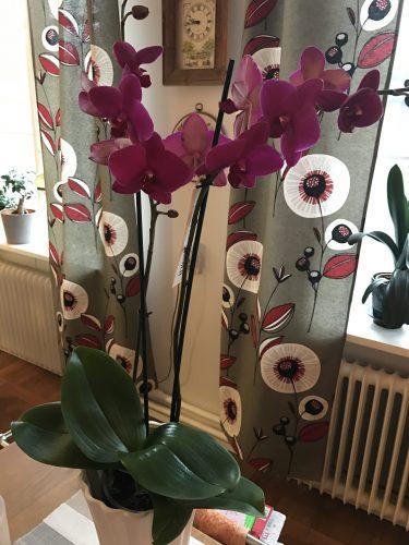 Cerise orkide